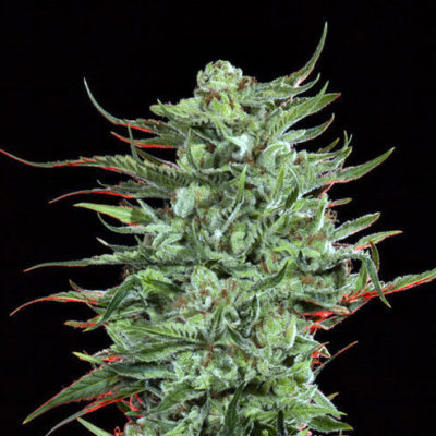 Strawberry Banana Strain
